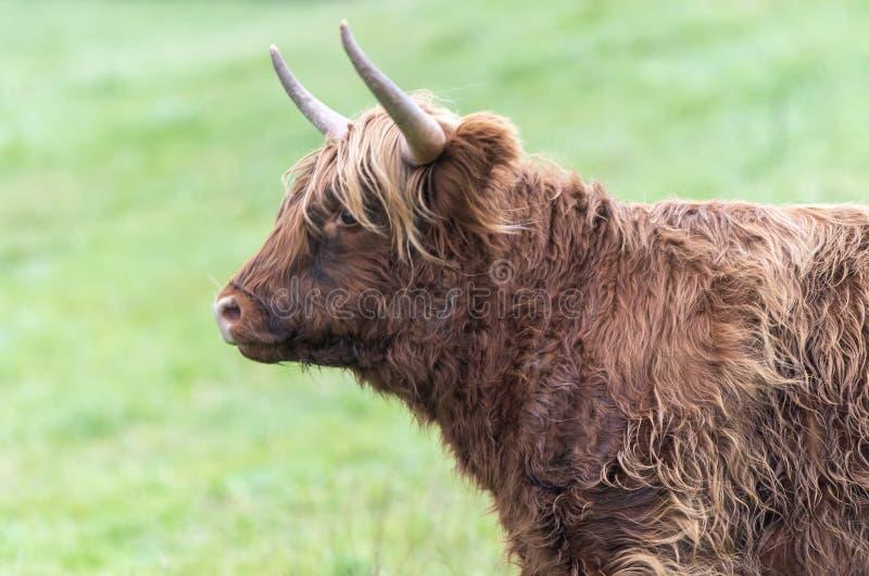 Una foto ravvicinata di una mucca dell'Highland immagine stock libera da diritti