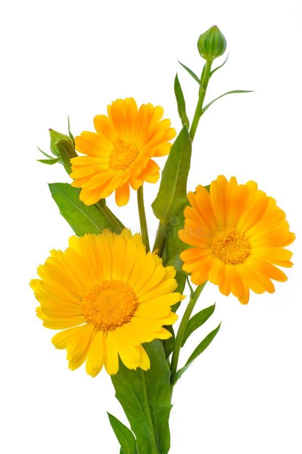 Una foto verticale di tre fiori della calendula con le foglie ed i germogli i fotografie stock libere da diritti