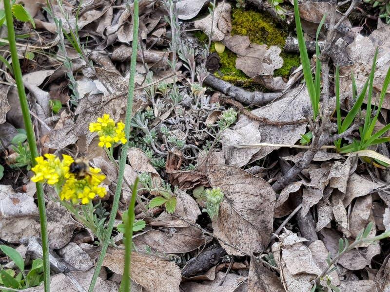 Una fotografía de la abeja de la miel que recoge el néctar de la flor amarilla en la primavera fotos de archivo libres de regalías