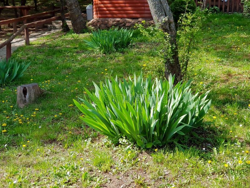 Una fotografía del arbusto con las hojas grandes en jardín imagen de archivo libre de regalías