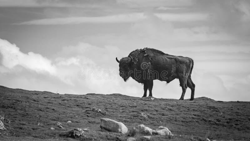 Una fotografia in bianco e nero di un bisonte europeo che sta su una cresta fotografia stock libera da diritti