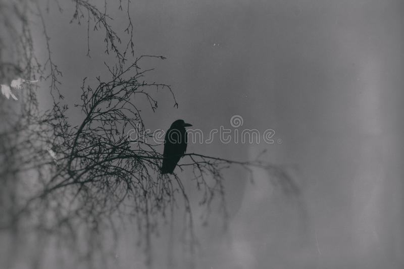Una fotografia gotica degli uccelli neri che si siedono su una betulla sfrondata fotografie stock libere da diritti
