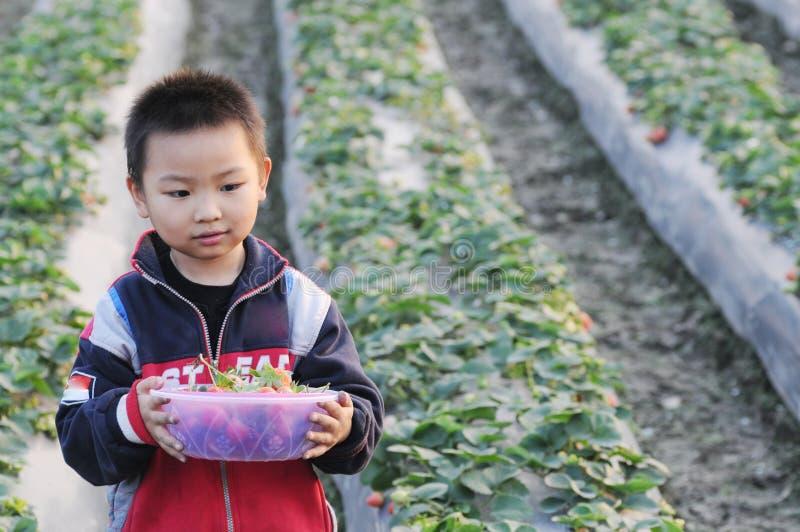 Una fresa de la cosecha del muchacho fotografía de archivo libre de regalías