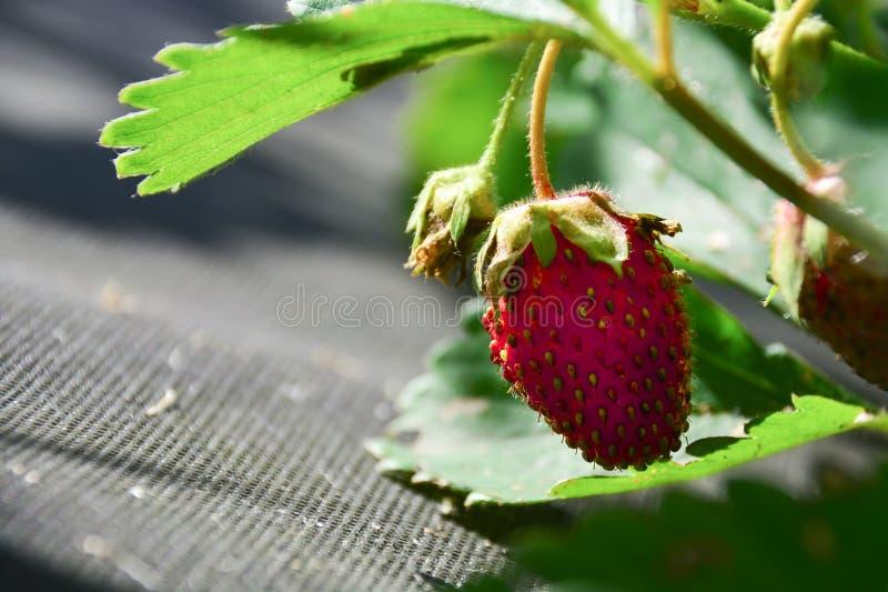 Una fresa en jard?n Cerca encima de una fresa en jardín Fresa en una cama del jard?n Fresa roja en una cama del jard?n con las ho foto de archivo libre de regalías