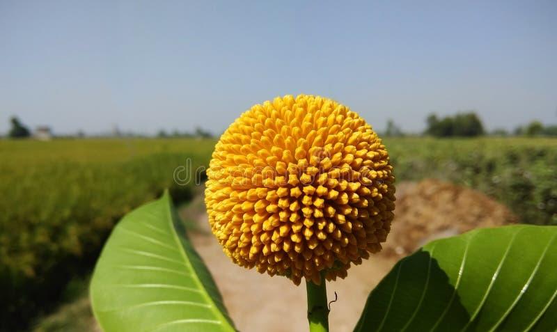 Una fruta amarilla del kadam Cadamba de Neolamarckia, con el burflower-árbol del nombre, el laran, y el pino comunes ingleses de  foto de archivo