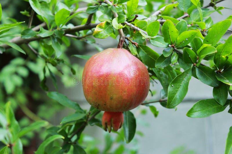 Una fruta de maduración de la granada del Punica en una rama de árbol en el patio de una casa privada República de Crimea fotografía de archivo