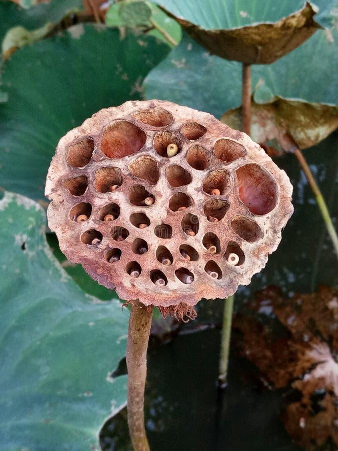 una fruta más vieja del loto imágenes de archivo libres de regalías