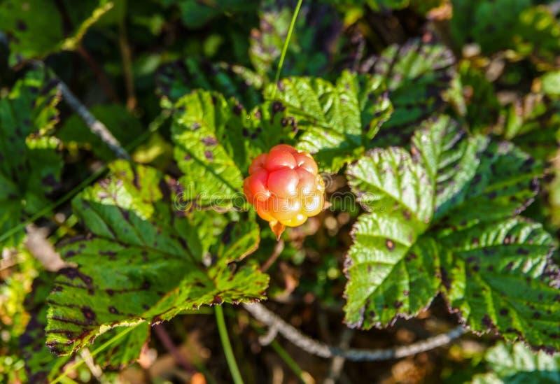 Una frutta arancio matura del rovo Stagione: Estate Posizione: Taiga siberiano occidentale fotografia stock