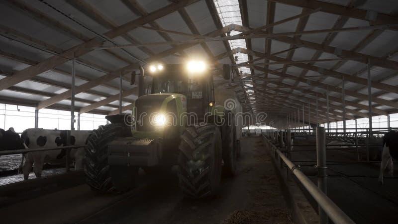 Una galleria d'alimentazione in un'azienda agricola di bestiame con le mucche ed il trattore commovente fra le file, concetto di  fotografie stock