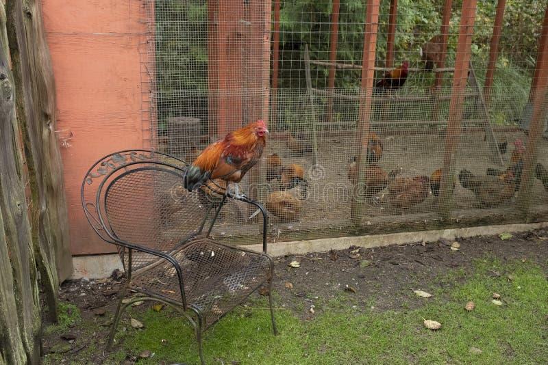 Una gallina/gallo sorveglia altri galline/galli ingabbiati nei giardini botanici di Tofino fotografia stock
