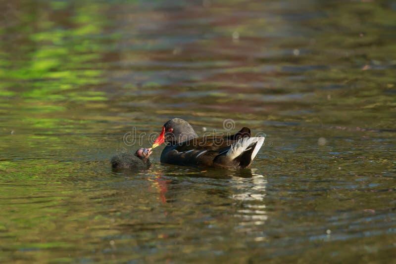 Una gallinella d'acqua comune che alimenta il suo pulcino fotografia stock libera da diritti