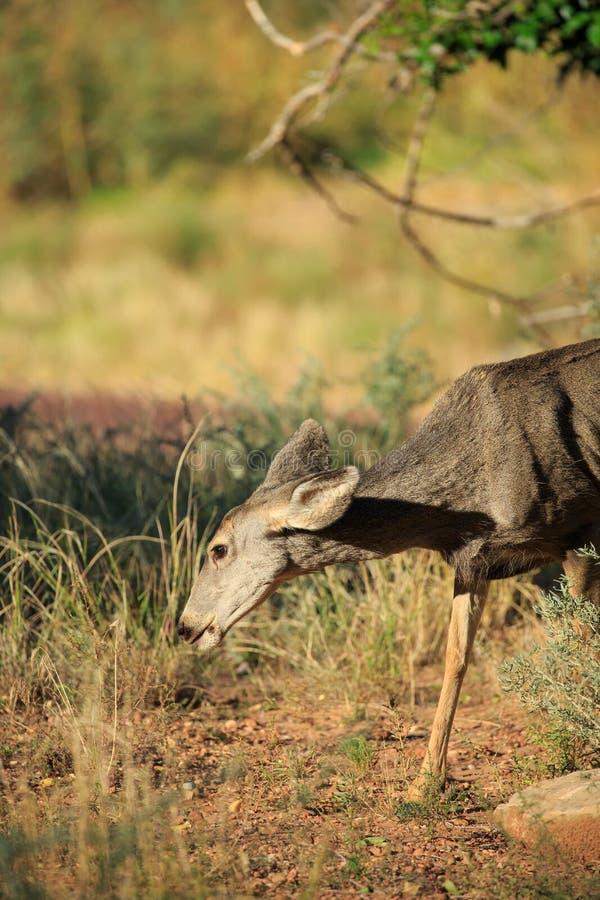 Una gama whitetailed los jóvenes de los ciervos pasta en el bosque fotografía de archivo