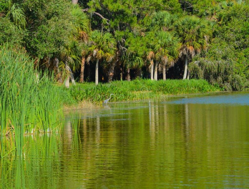 Una garza azul que vadea en el agua que busca la comida en el parque del Seminole del lago en Seminole, la Florida imagen de archivo