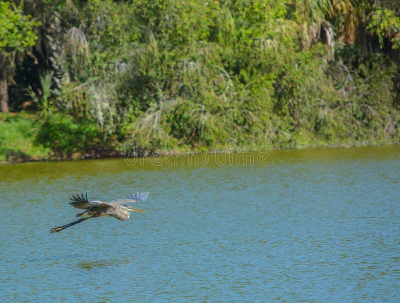 Una garza azul que vuela sobre el agua que busca la comida en el parque del Seminole del lago en Seminole, la Florida foto de archivo libre de regalías