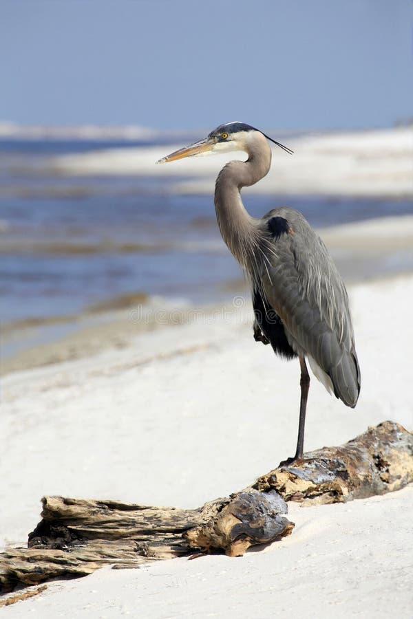 Garza de gran azul que descansa sobre la playa de la Florida fotos de archivo libres de regalías