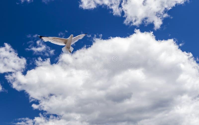 Una gaviota del vuelo del solitario fotos de archivo libres de regalías