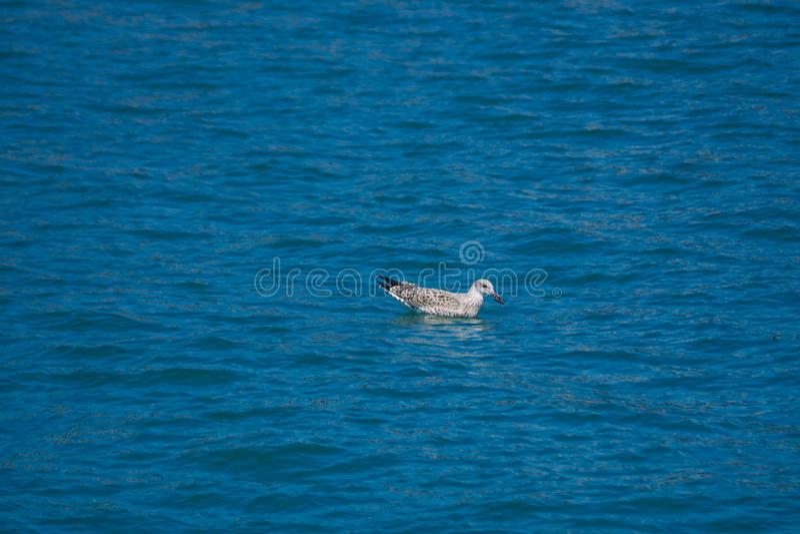 Una gaviota está nadando en el mar Agua azul pura Verano DA fotografía de archivo