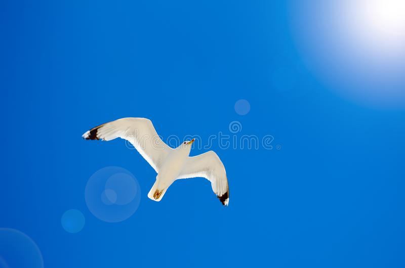 Una gaviota está volando en el cielo azul seabirds imagen de archivo libre de regalías