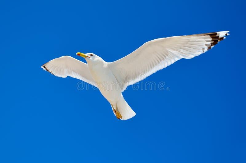 Una gaviota está volando en el cielo azul seabirds imagenes de archivo