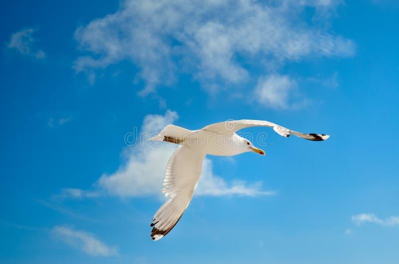 Una gaviota está volando en el cielo azul seabirds foto de archivo