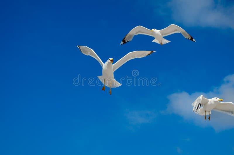 Una gaviota está volando en el cielo azul seabirds fotos de archivo