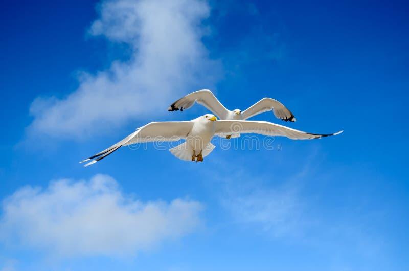 Una gaviota está volando en el cielo azul seabirds fotografía de archivo libre de regalías