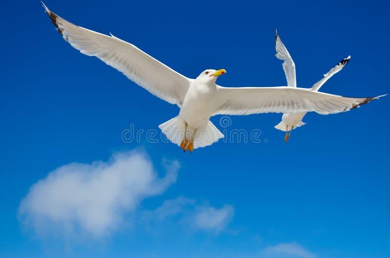 Una gaviota está volando en el cielo azul seabirds fotos de archivo libres de regalías