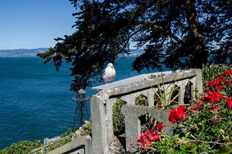Una gaviota occidental de la gaviota se sienta encaramado en una repisa concreta de ruinas en la isla de Alcatraz en un día solea fotografía de archivo libre de regalías