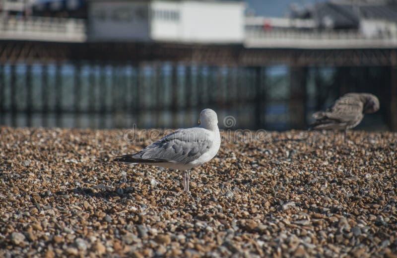 Una gaviota que mira lejos - la playa de Brighton y el embarcadero imagen de archivo