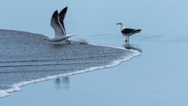 Una gaviota que mira otra el prepararse para irse volando imágenes de archivo libres de regalías