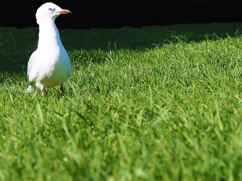 Una gaviota solitaria en la hierba fotos de archivo