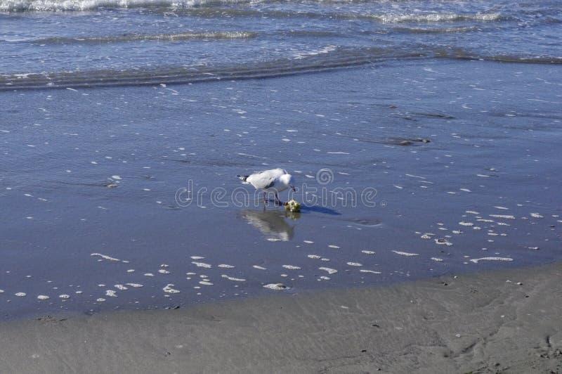 Una gaviota y una manzana están a lo largo de la costa fotografía de archivo libre de regalías