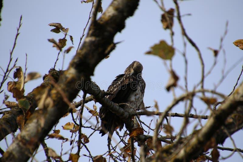 Una giovane aquila calva appollaiata su un ramo di albero fotografia stock libera da diritti