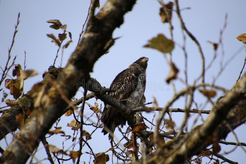 Una giovane aquila calva appollaiata su un ramo di albero fotografia stock