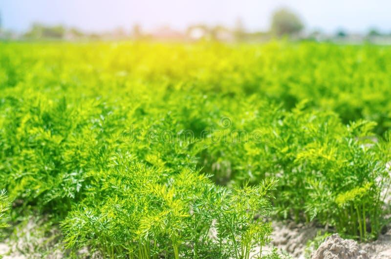 Una giovane carota si sviluppa nel primo piano del suolo coltivando, prodotti agricoli ecologici, disintossicazione, ortaggi fres immagini stock