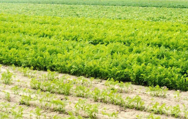 Una giovane carota si sviluppa nel primo piano del suolo coltivando, prodotti agricoli ecologici, disintossicazione, ortaggi fres fotografia stock libera da diritti
