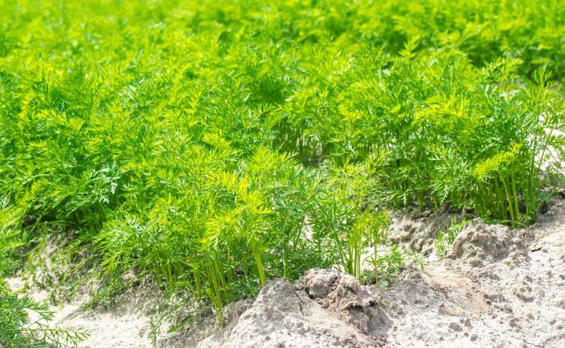 Una giovane carota si sviluppa nel primo piano del suolo coltivando, prodotti agricoli ecologici, disintossicazione, ortaggi fres immagine stock