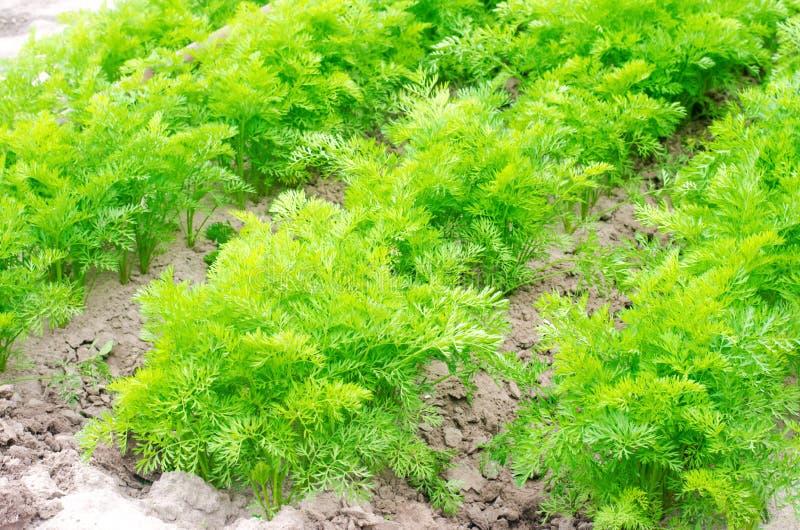 Una giovane carota si sviluppa nel primo piano del suolo coltivando, prodotti agricoli ecologici, disintossicazione, ortaggi fres fotografie stock