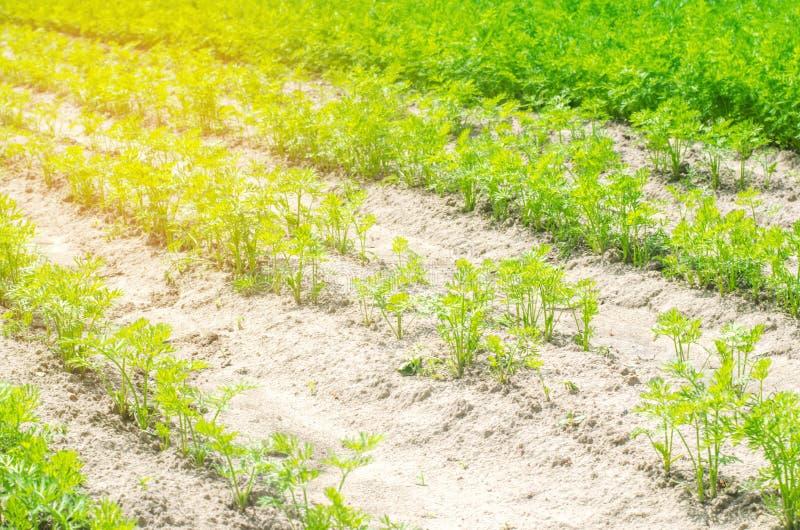 Una giovane carota si sviluppa nel primo piano del suolo coltivando, prodotti agricoli ecologici, disintossicazione, ortaggi fres fotografia stock