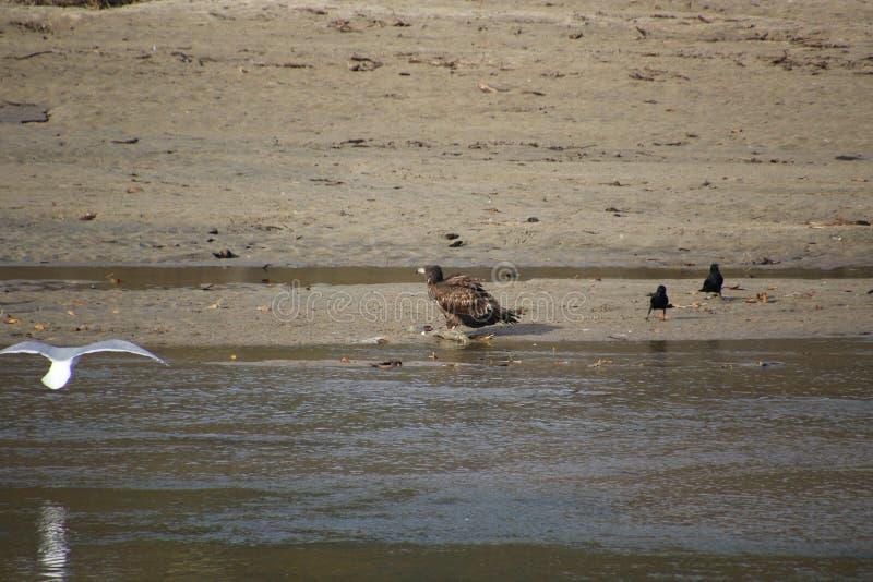 Una giovane condizione dell'aquila calva sull'orlo di una spiaggia sabbiosa fotografia stock