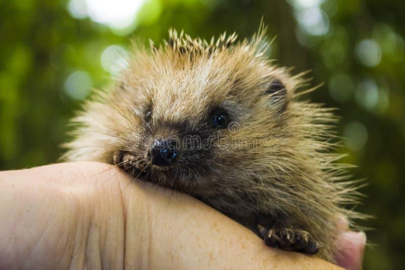 Una giovane foresta dell'istrice si siede sulla mano umana fotografia stock