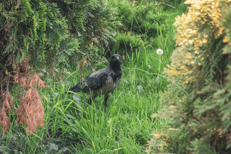 Una giovane gazza del pulcino nell'erba Gli sguardi del corvo si sono sorpresi Uccello nella foresta immagini stock