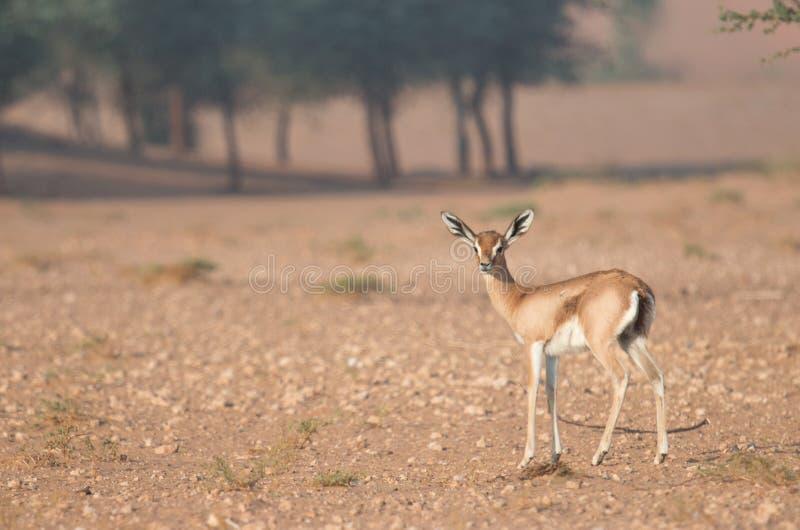 Una giovane gazzella araba durante le ore di primo mattino La Doubai, UAE fotografia stock libera da diritti