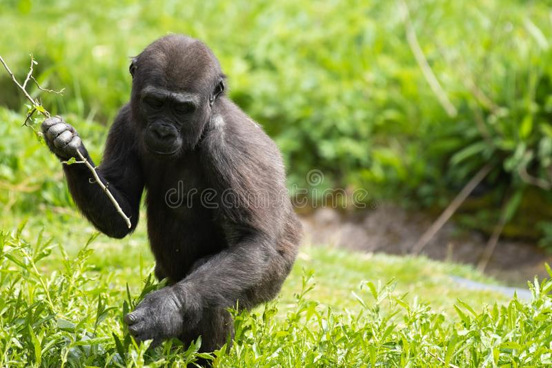 Una giovane gorilla di pianura occidentale che si alimenta a Bristol Zoo, Regno Unito immagine stock