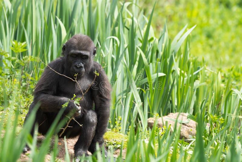 Una giovane gorilla di pianura occidentale che si alimenta a Bristol Zoo, Regno Unito fotografie stock