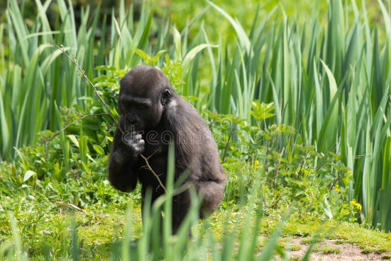 Una giovane gorilla di pianura occidentale che si alimenta a Bristol Zoo, Regno Unito fotografia stock