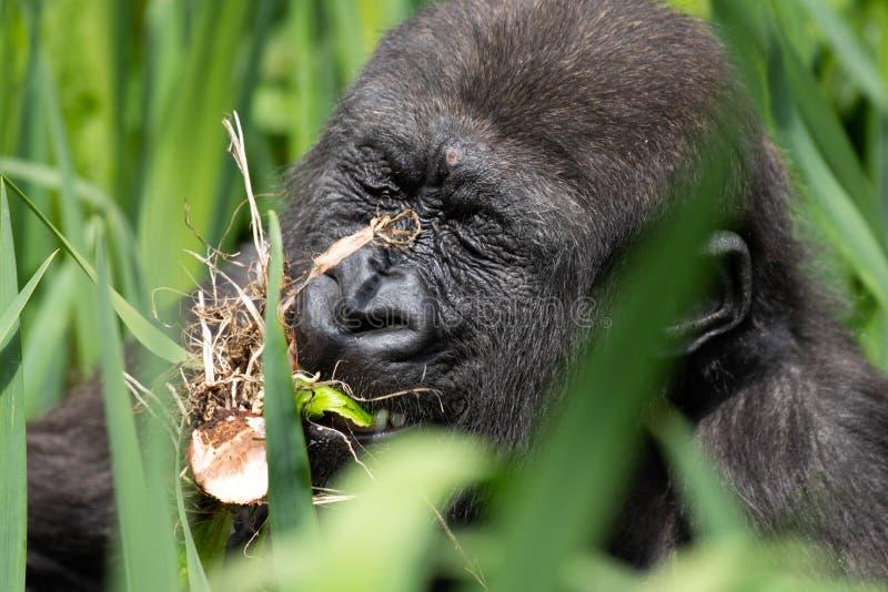 Una giovane gorilla di pianura occidentale che si alimenta a Bristol Zoo, Regno Unito immagini stock libere da diritti