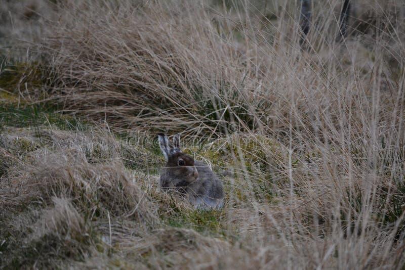 Una giovane lepre della montagna fotografia stock libera da diritti