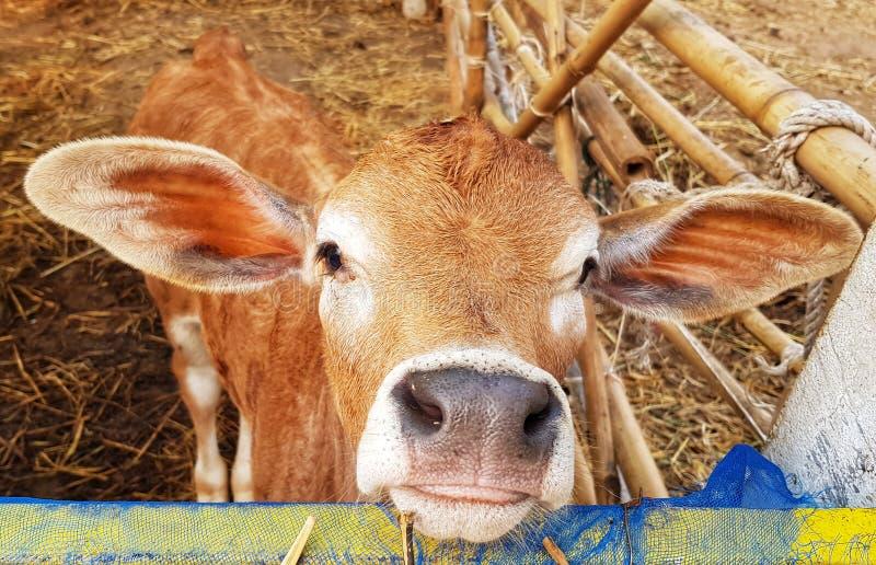 Una giovane mucca sveglia dà l'accoglienza molto calorosa fotografie stock libere da diritti