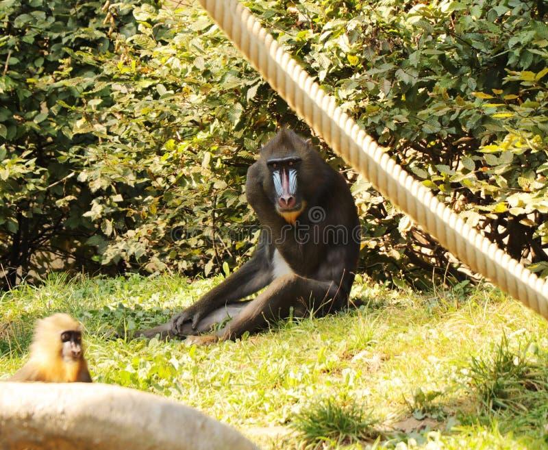 Una giovane sfinge di mandrillo che si siede sull'erba nel parco È primate raro in natura immagini stock